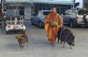 僧人带两野猪弟子化缘
