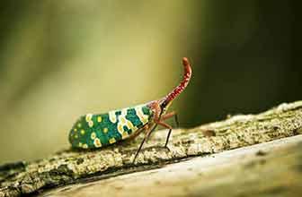 最长昆虫破吉尼斯纪录